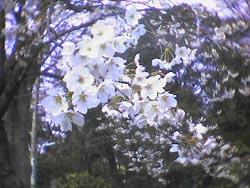 店の前がもう桜並木